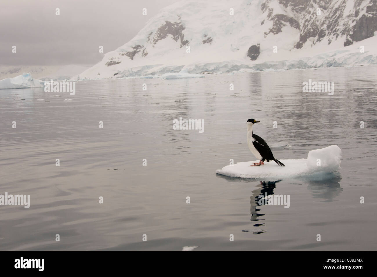 Adult Antarctic Shag sitting on ice flow, Brown's Bluff, Antarctic Peninsula. - Stock Image