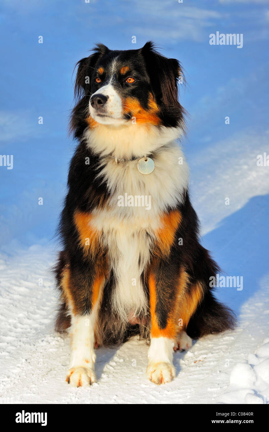 Portrait of a crossbreed dog (cross between a Border Collie and the Swiss Appenzell breed) sitting in the snow. - Stock Image