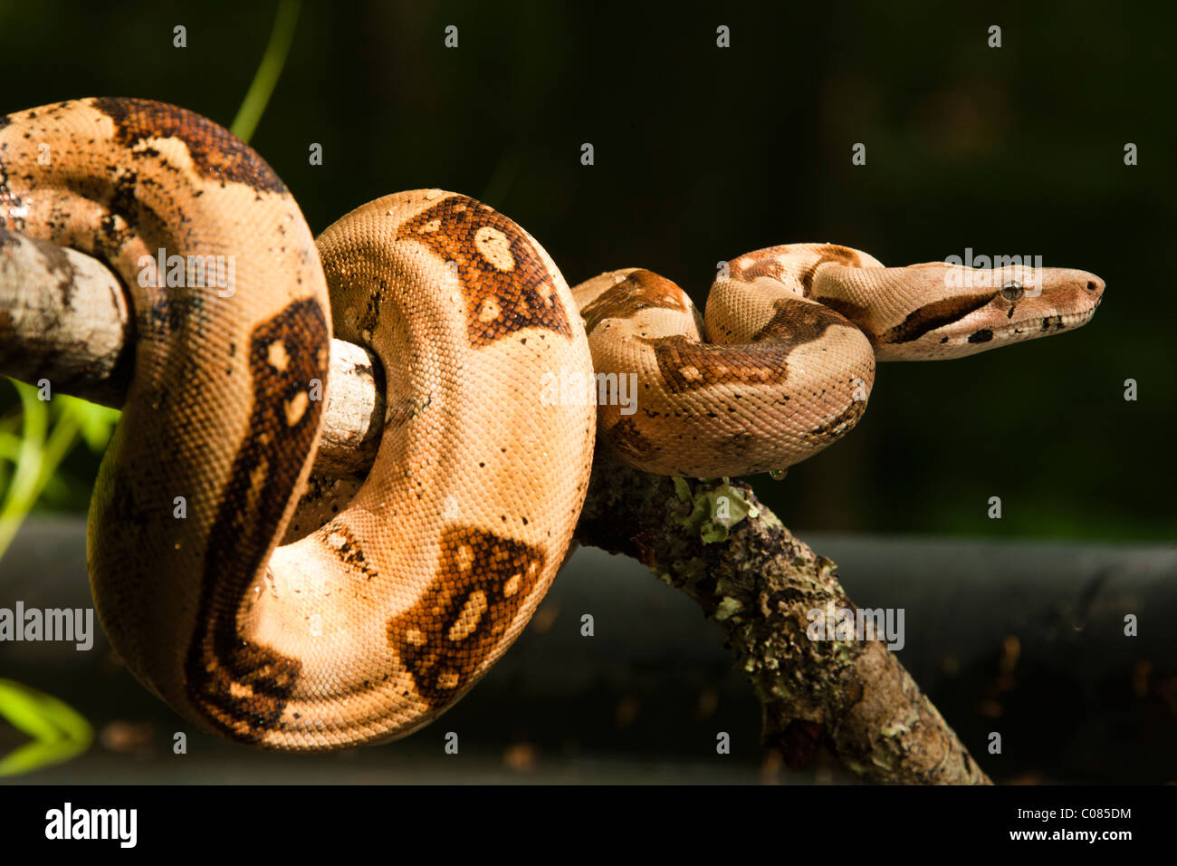 Boa Constrictor clinging on stick, Pennsylvania, USA - Stock Image