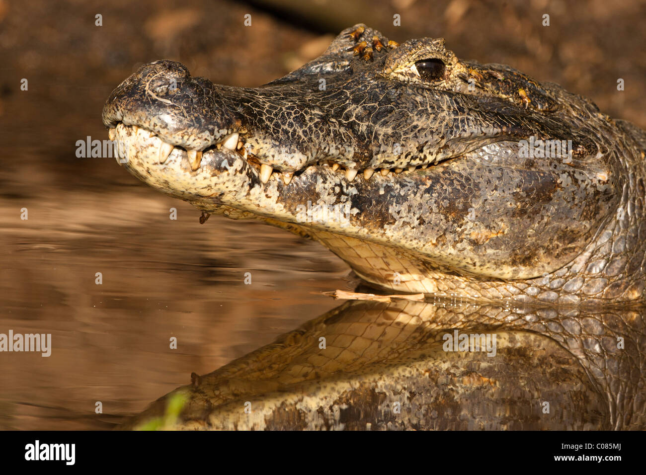 Spectacled Caiman in the river of the Pantanal, Brazil - Stock Image