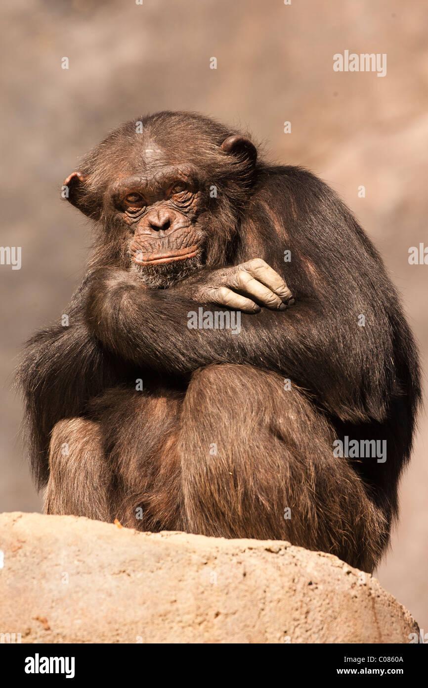 Chimpanzee, Jacksonville Zoo, Florida - Stock Image