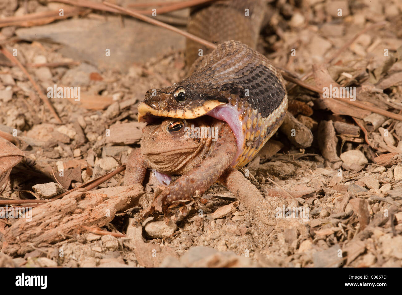 Eastern Hognose Snake eating an American Toad, USA - Stock Image