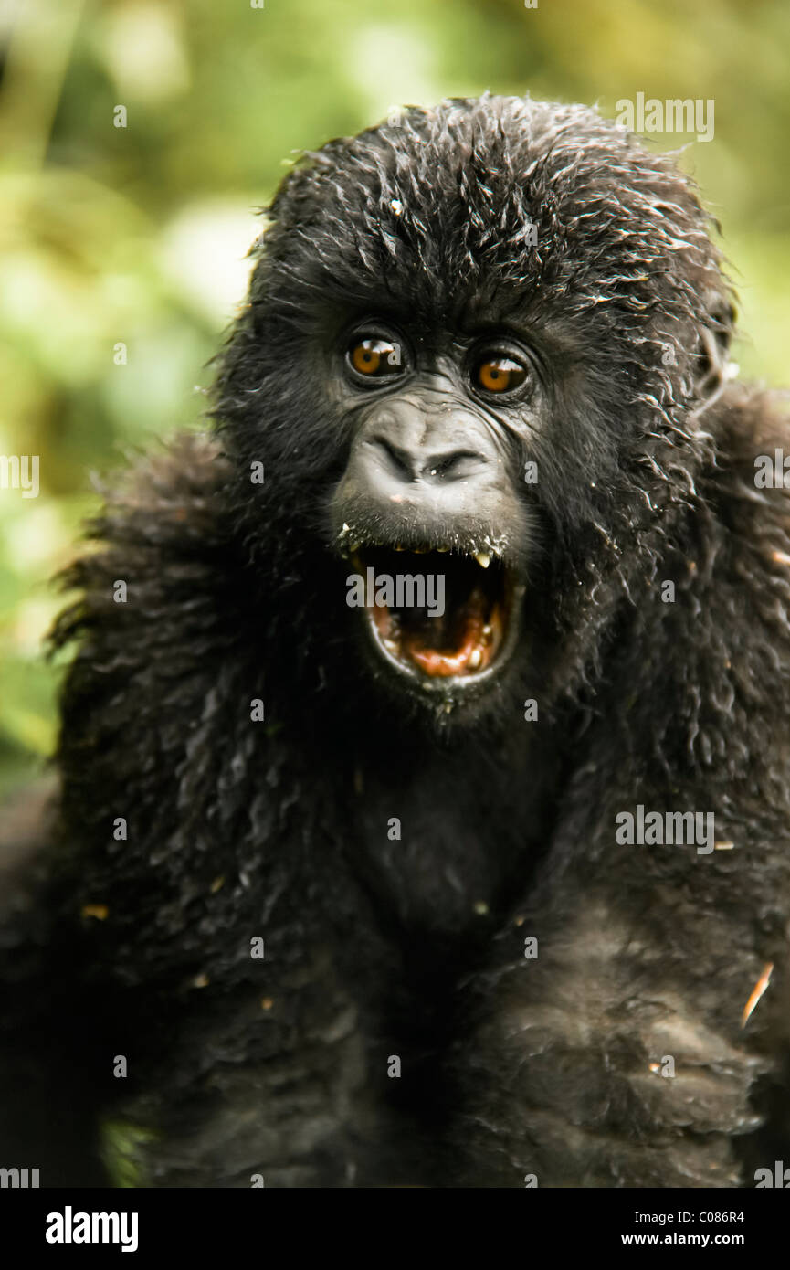 Mountain Gorilla Juvenile, Volcanoes National Park, Rwanda - Stock Image