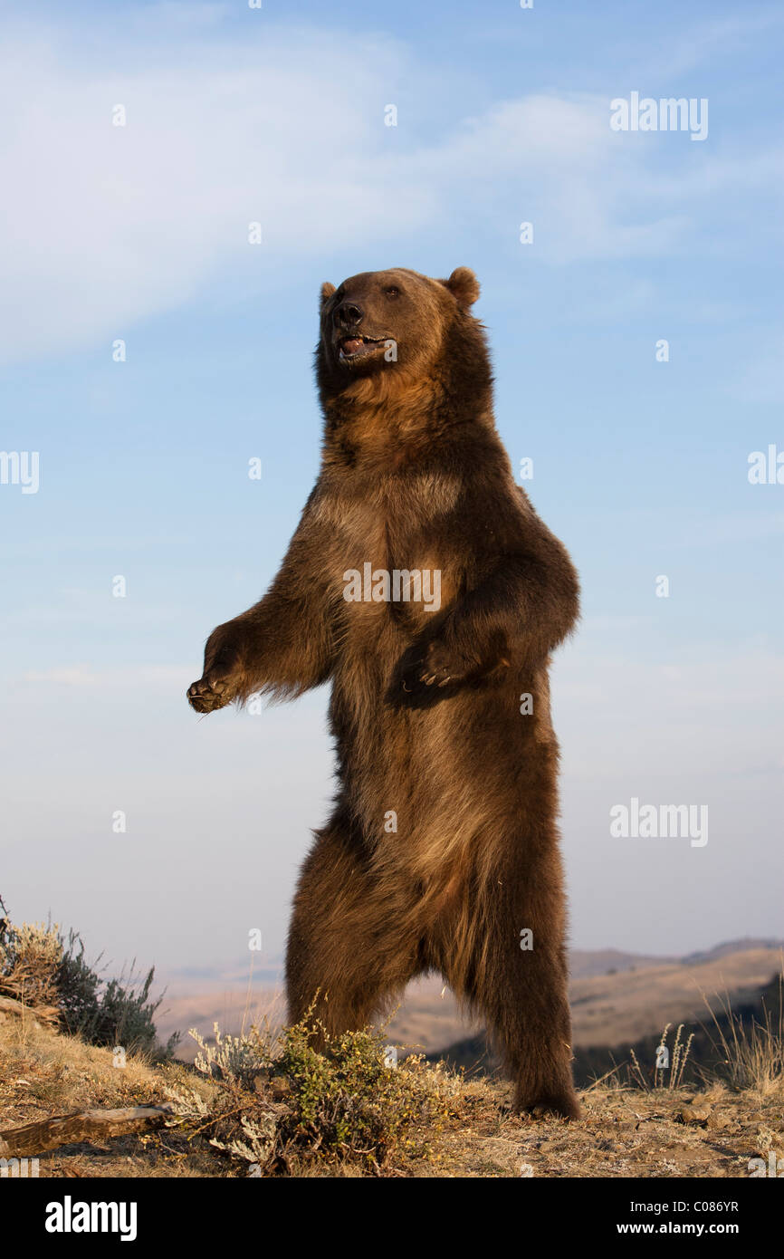 Grizzly Bear standing upright, Montana, USA - Stock Image