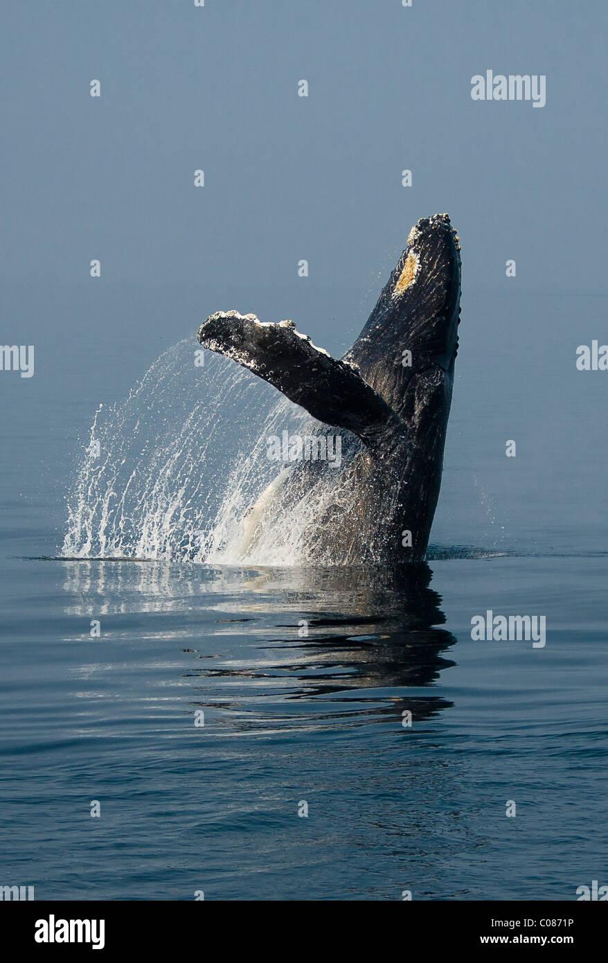 Humpback Whale breaching in display, Alaska, USA - Stock Image
