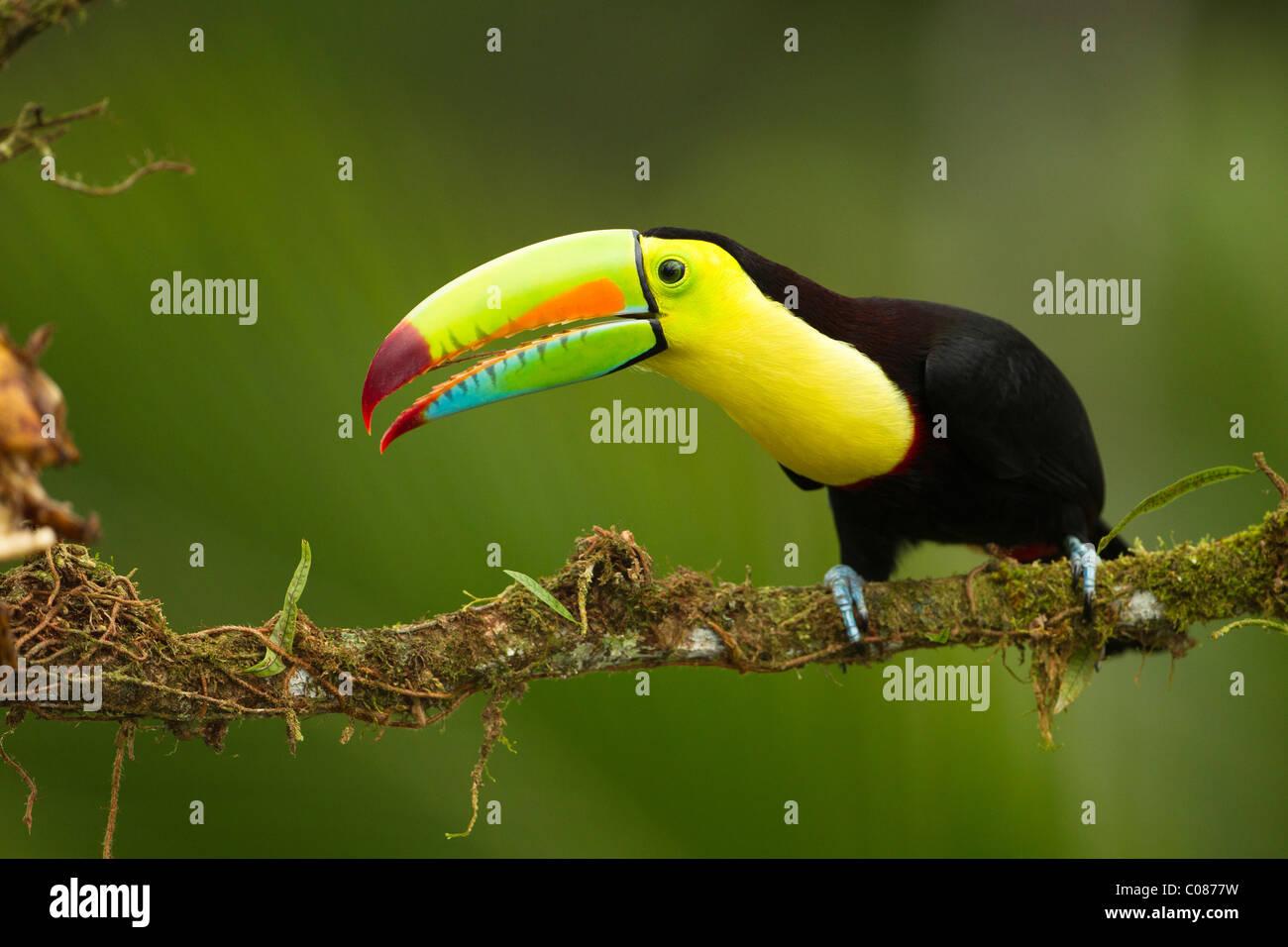 Keel-billed toucan, in full breeding plumage, Laguana del Lagarto, Costa Rica - Stock Image