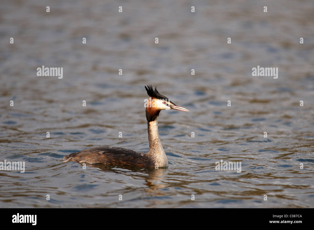 Great crested grebe (Podiceps Cristatus) swimming on a Lake - Stock Image