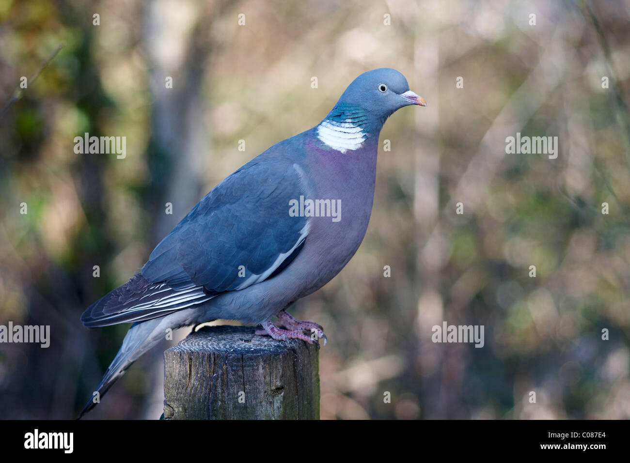 Close-up of Wood Pigeon Columba palaumbus perched on a post - Stock Image