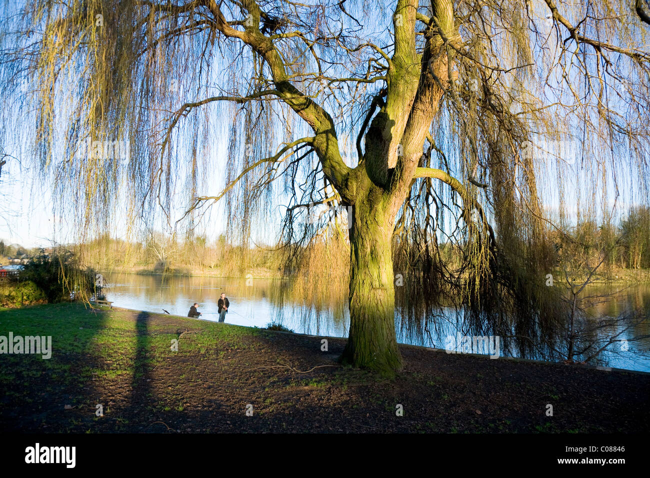 Willow tree and bare winter / spring branches on the river bank at Radnor Gardens in Twickenham. Middlesex / Middx. - Stock Image