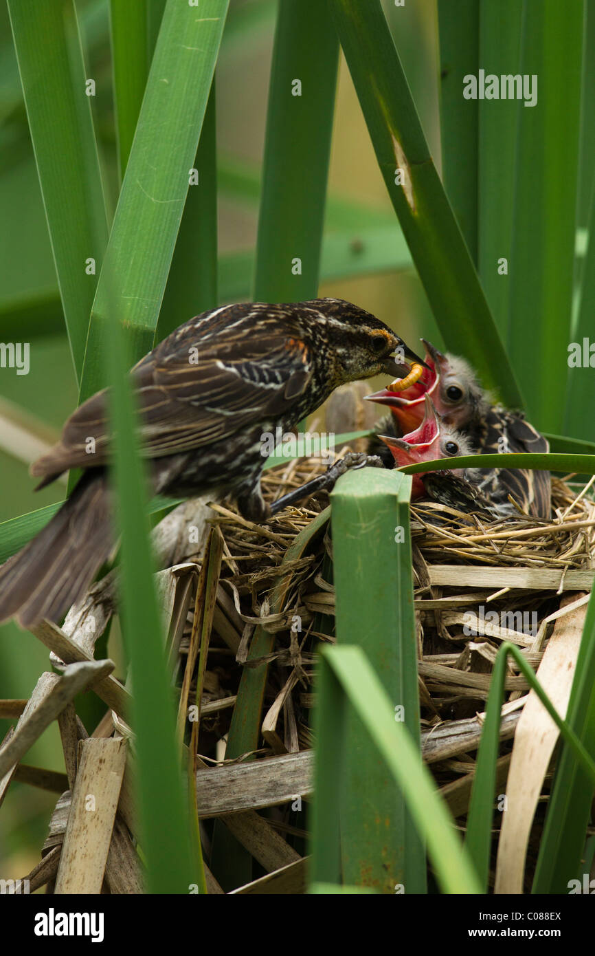 Red-winged Blackbird mother with fledglings at nest, Pennsylvania, USA - Stock Image