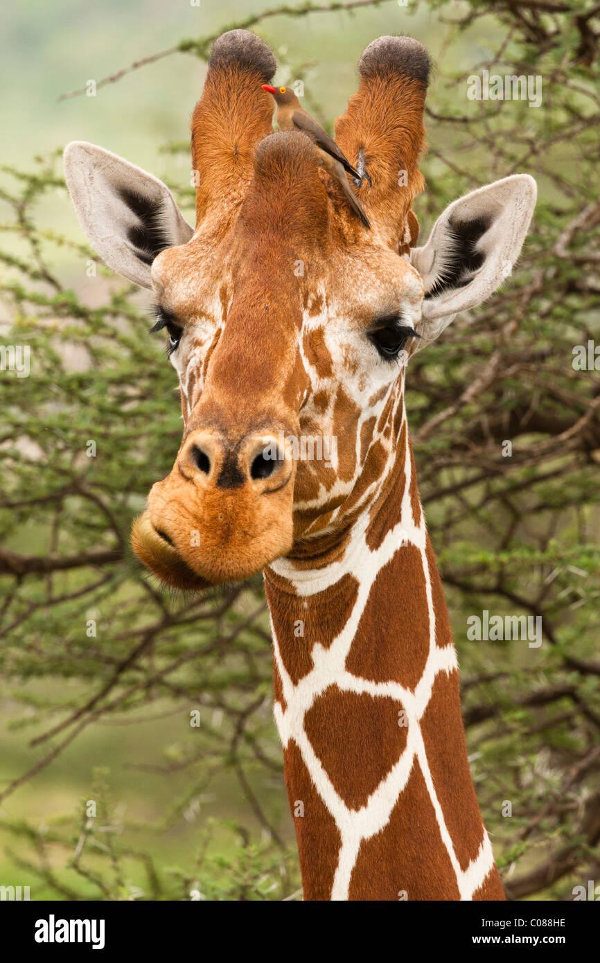 Reticulated Giraffe, Masai Mara Game Reserve, Kenya - Stock Image