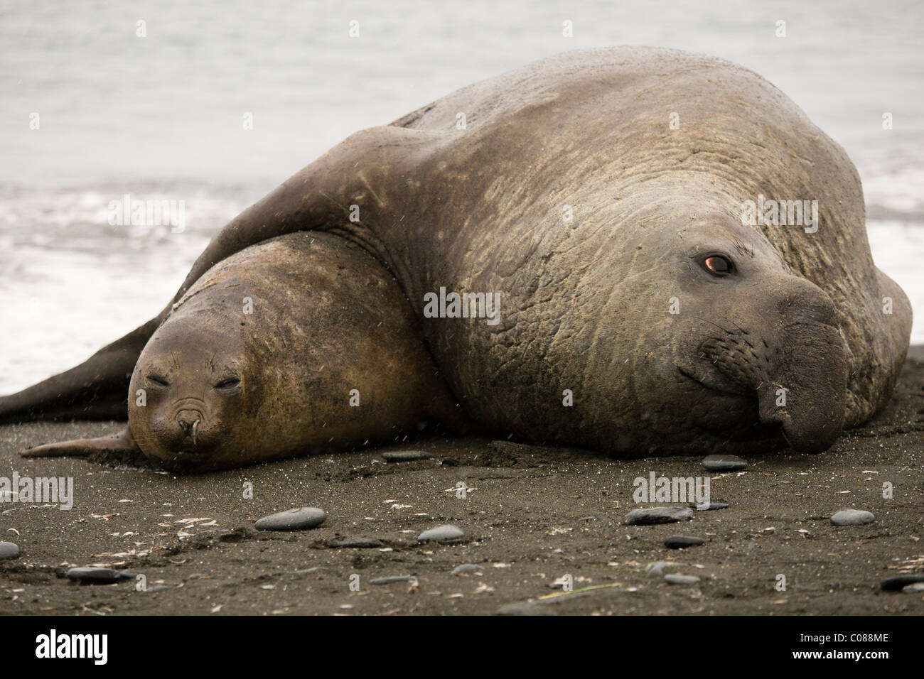 Southern Elephant Seals mating, Gold Harbor, South Georgia Island, - Stock Image