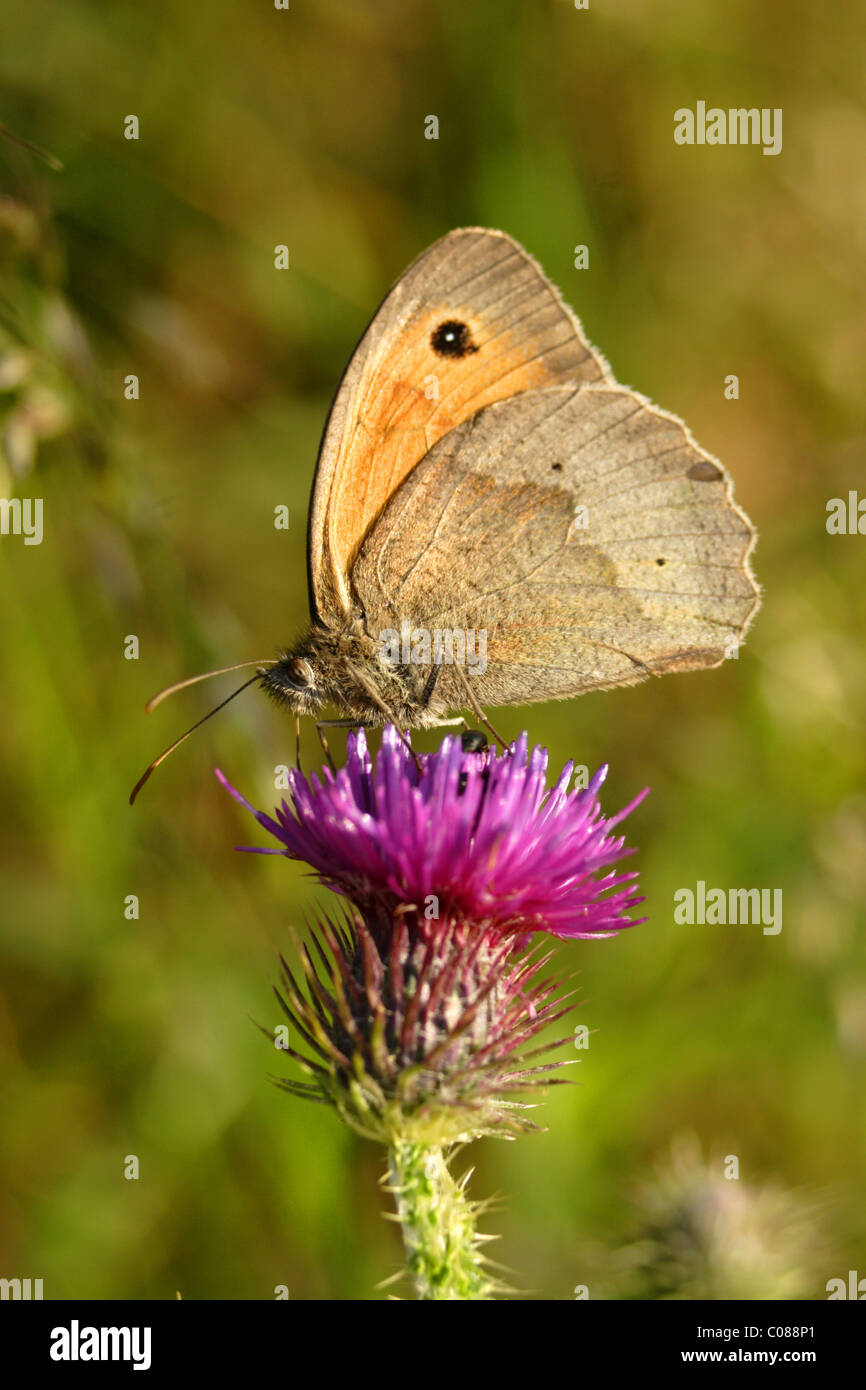 Meadow Brown butterfly (Maniola jurtina) feeding on thistle head, summer, West Yorkshire, UK - Stock Image