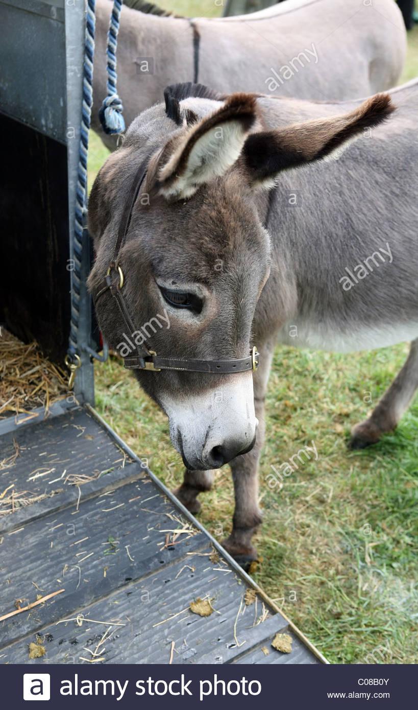 Donkey by horse box - Stock Image