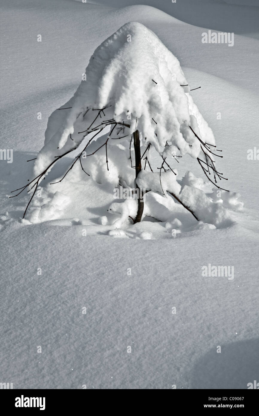 Japanese Maple Tree buried under a thick blanket of snow - Stock Image