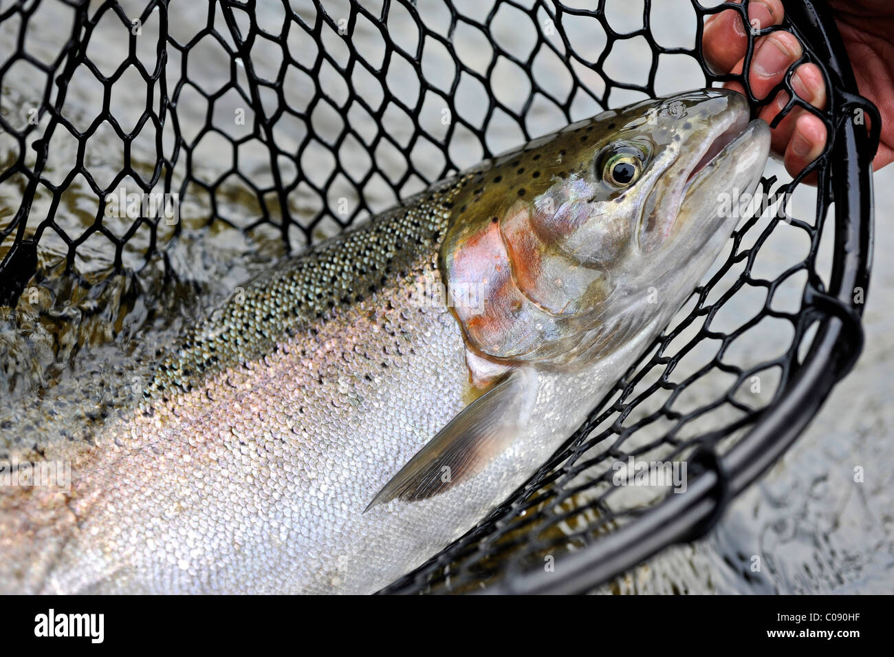 Close up of a wild Steelhead in a net fished on Deep Creek, Kenai Peninsula, Southcentral Alaska, Autumn - Stock Image