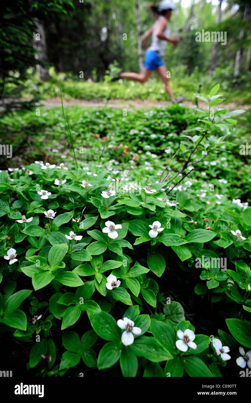 Female jogger runs past Dwarf Dogwood on the Far North Bicentennial Park Trail in Anchorage, Southcentral Alaska, - Stock Image
