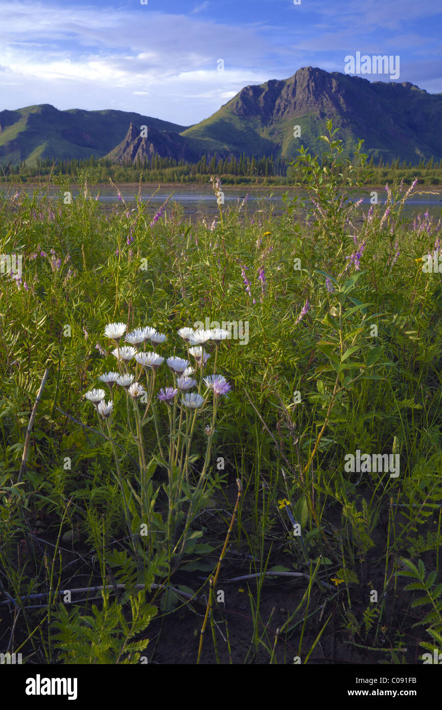 Scenic view of wildflowers and the landscape along Yukon River in Yukon-Charley Rivers National Preserve  Interior - Stock Image