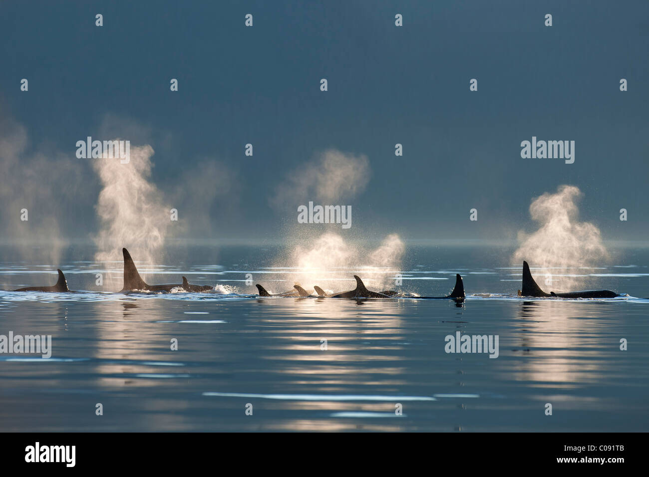 A group of Orca surface in the calm waters of Lynn Canal, Inside Passage, Southeast Alaska, Summer. Composite - Stock Image
