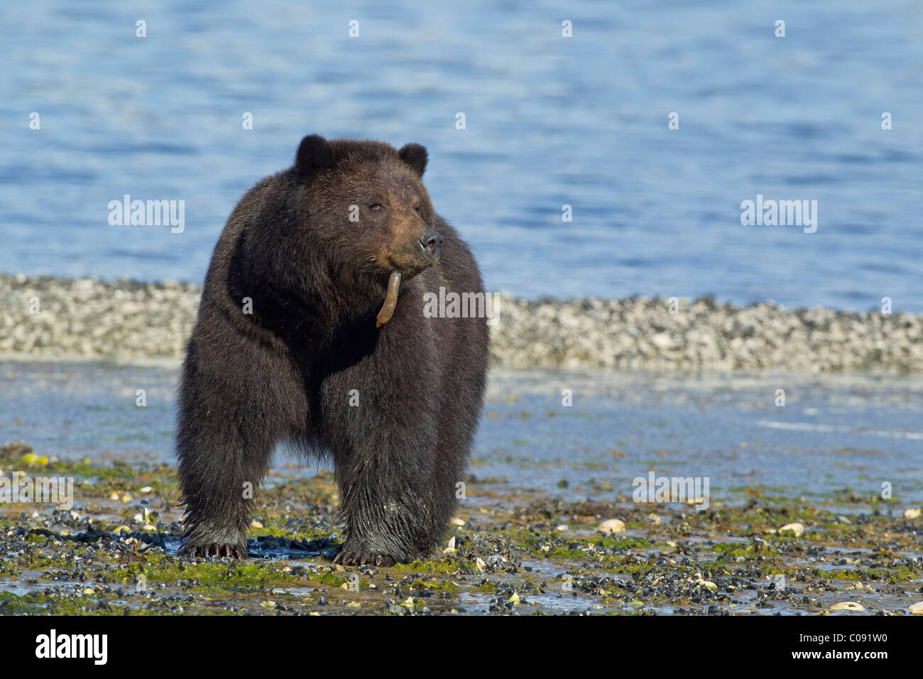 Brown bear sow eats Spoon worms (echiuroid) along the shoreline on Admiralty Island in Tongass National Forest, - Stock Image