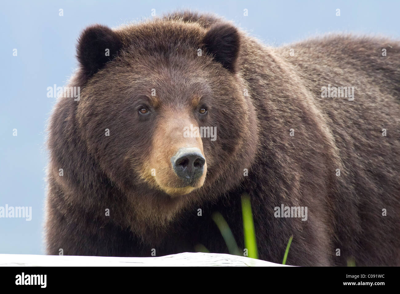 Sow Brown bear foraging on sedge and beach grass in an estuary on Admiralty Island, Pack Creek, Tongass National - Stock Image