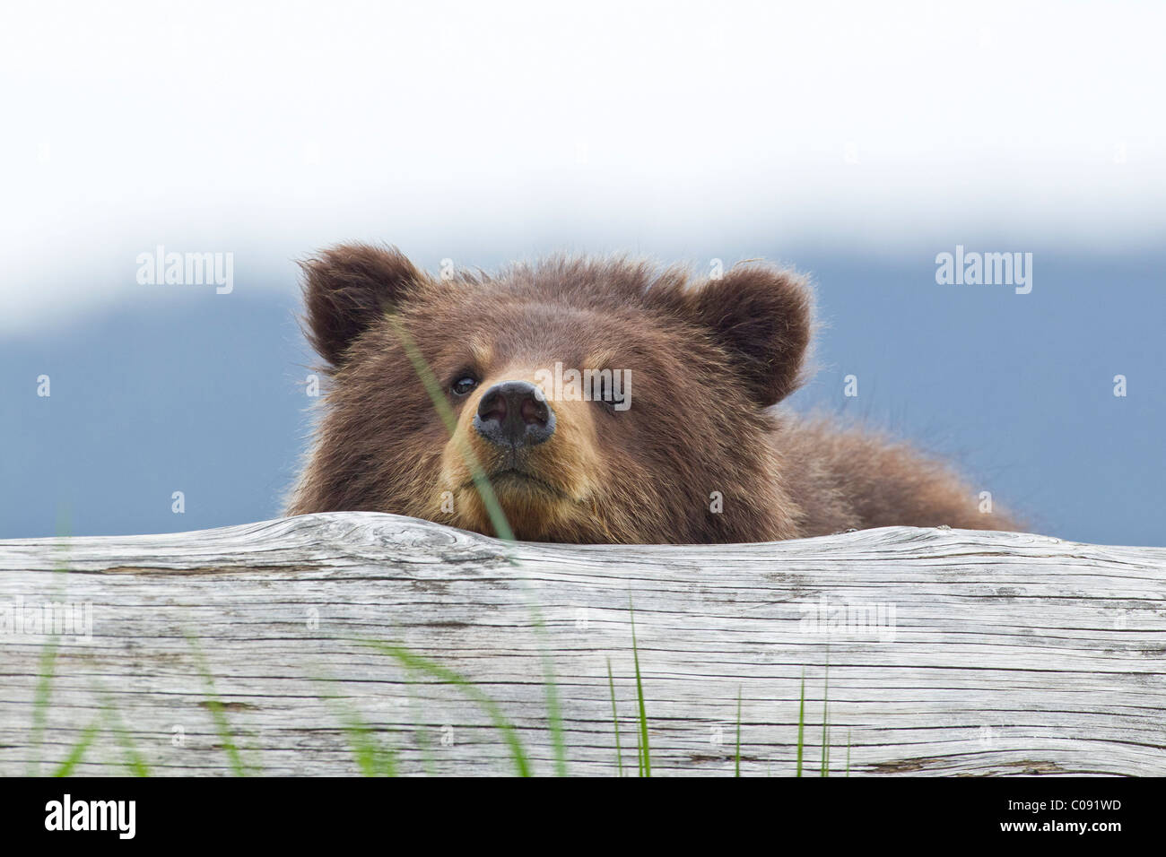 A brown bear cub rests its head on a log in an estuary on Admiralty Island, Pack Creek, Tongass National Forest, - Stock Image