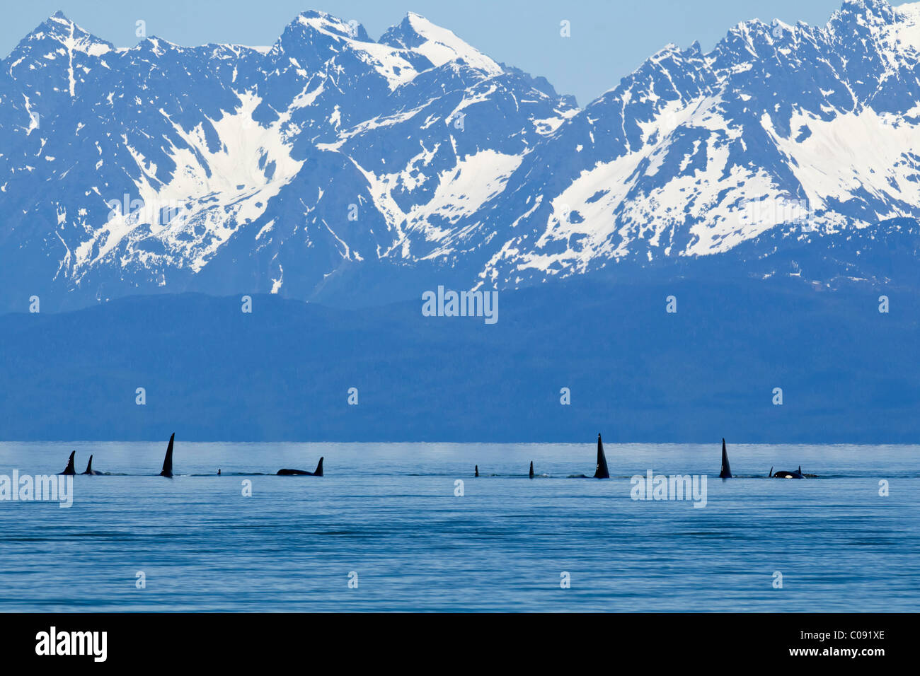 Orca whales surface in Lynn Canal with the Coast Mountains in the distance, Inside Passage, Tongass National Foest, - Stock Image