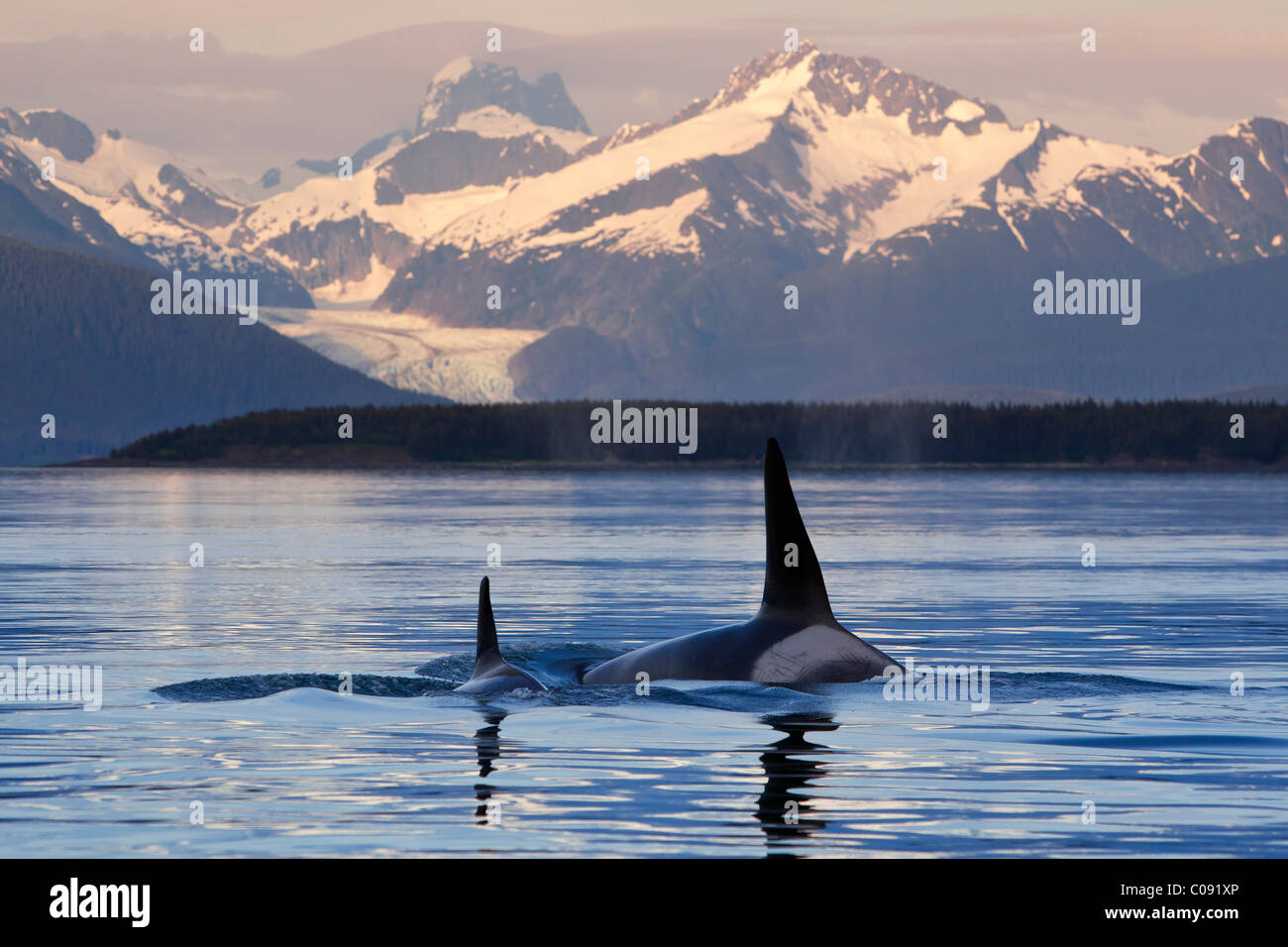 Two Killer whales surface in Lynn Canal as the last light of the day illuminates Herbert Glacier, Inside Passage, - Stock Image
