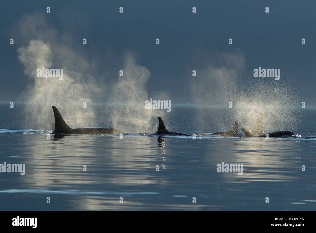 A group of Orca surface in the calm waters of Lynn Canal, Inside Passage, Southeast Alaska, Summer. Composite Stock Photo
