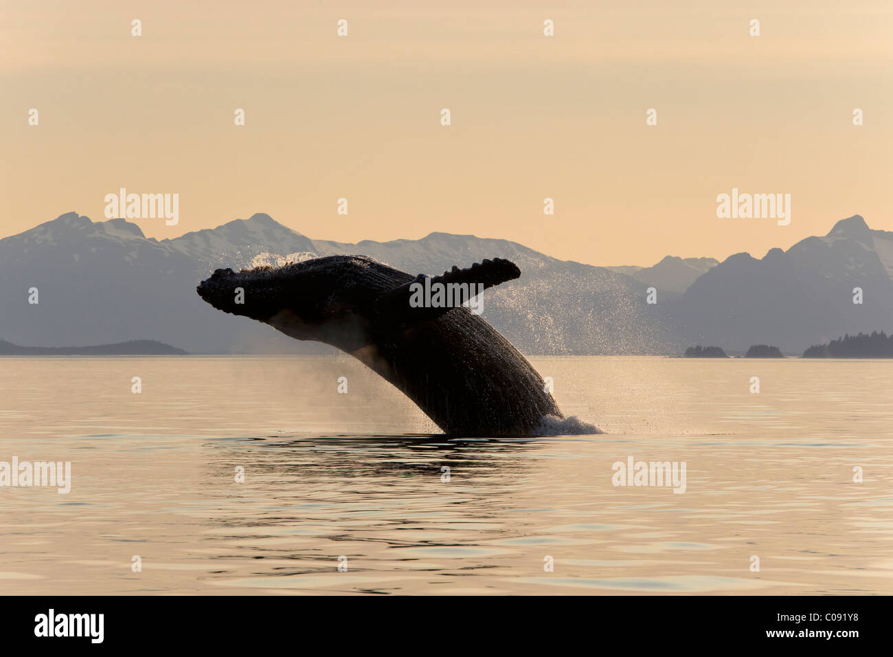 A Humpback Whale breaches from the calm waters of Frederick Sound at sunset, Inside Passage, Alaska Stock Photo