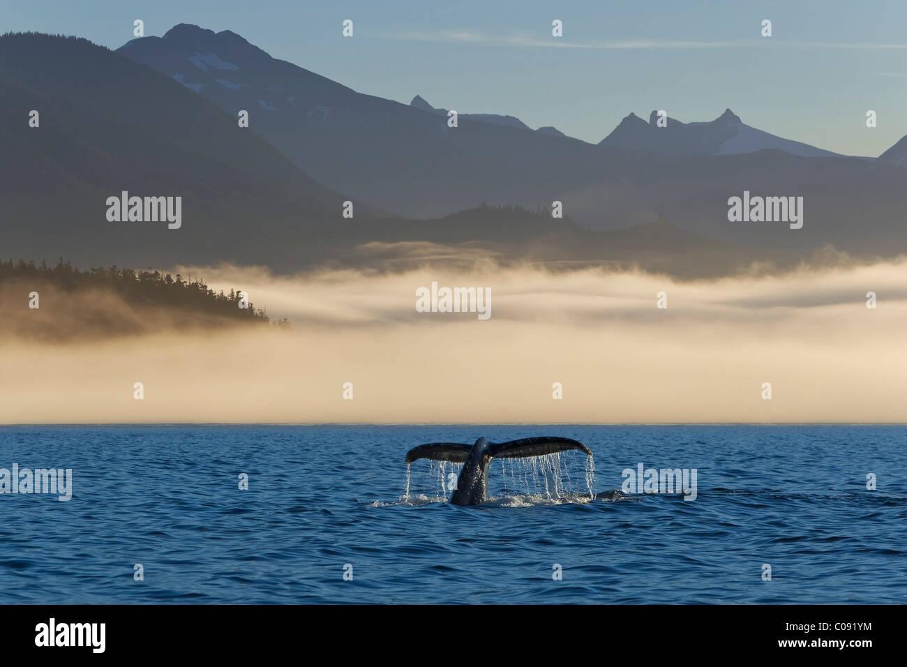 Humpback Whale tail visible along a fog shrouded shoreline in Frederick Sound, Inside Passage, Coastal Range, Alaska. - Stock Image