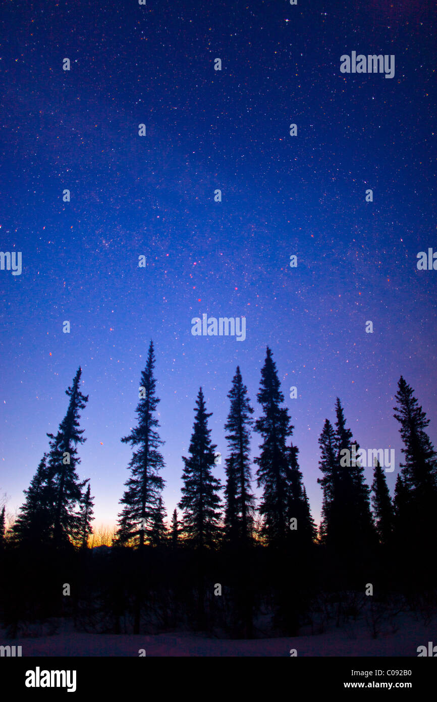 Silhouette of spruce trees against a starry sky at twilight in Broad Pass, Southcentral Alaska, Winter - Stock Image