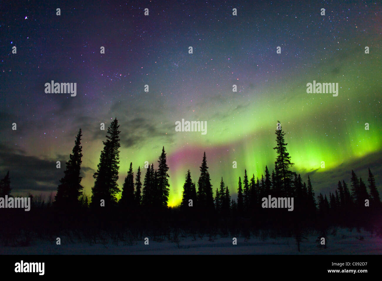 View of Northern Lights above spruce trees in Broad Pass, Southcentral Alaska, Winter - Stock Image