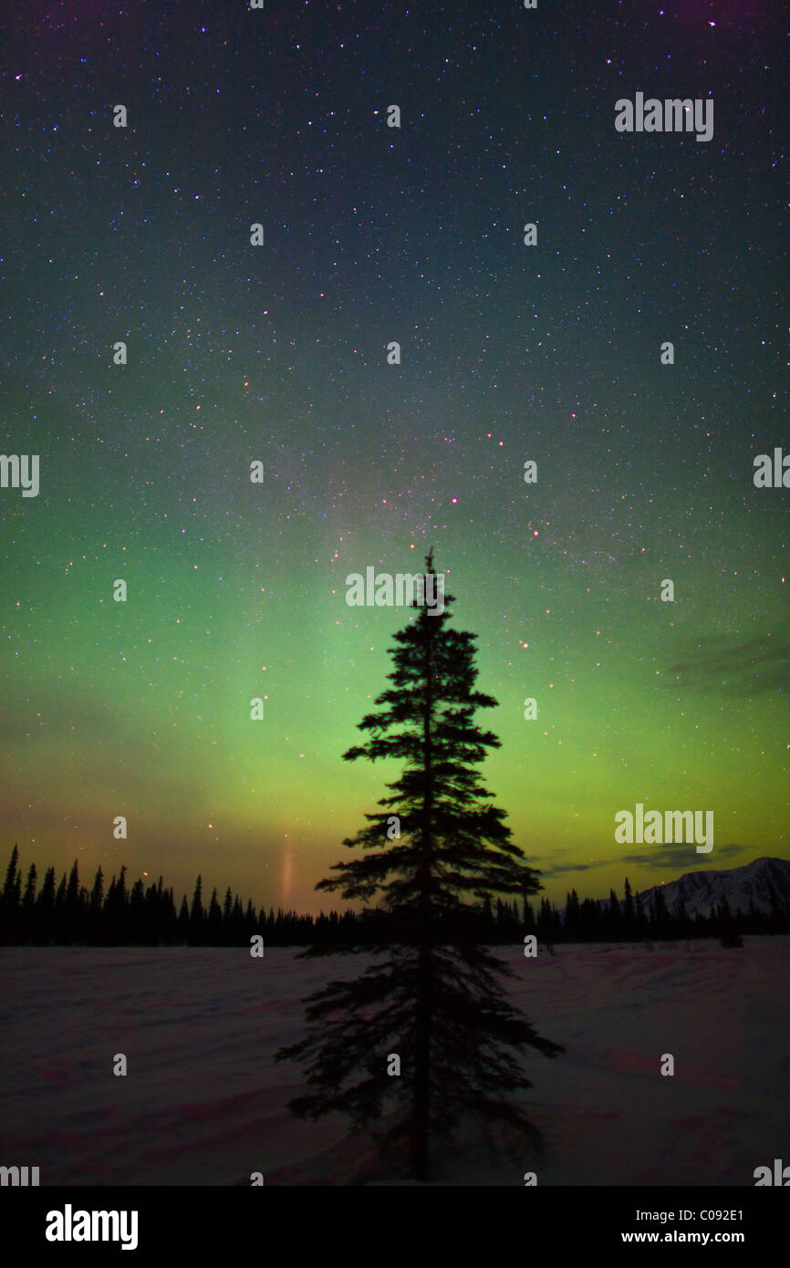 Silhouette of a spruce tree against the Northern Lights in Broad Pass, Southcentral Alaska, Winter - Stock Image
