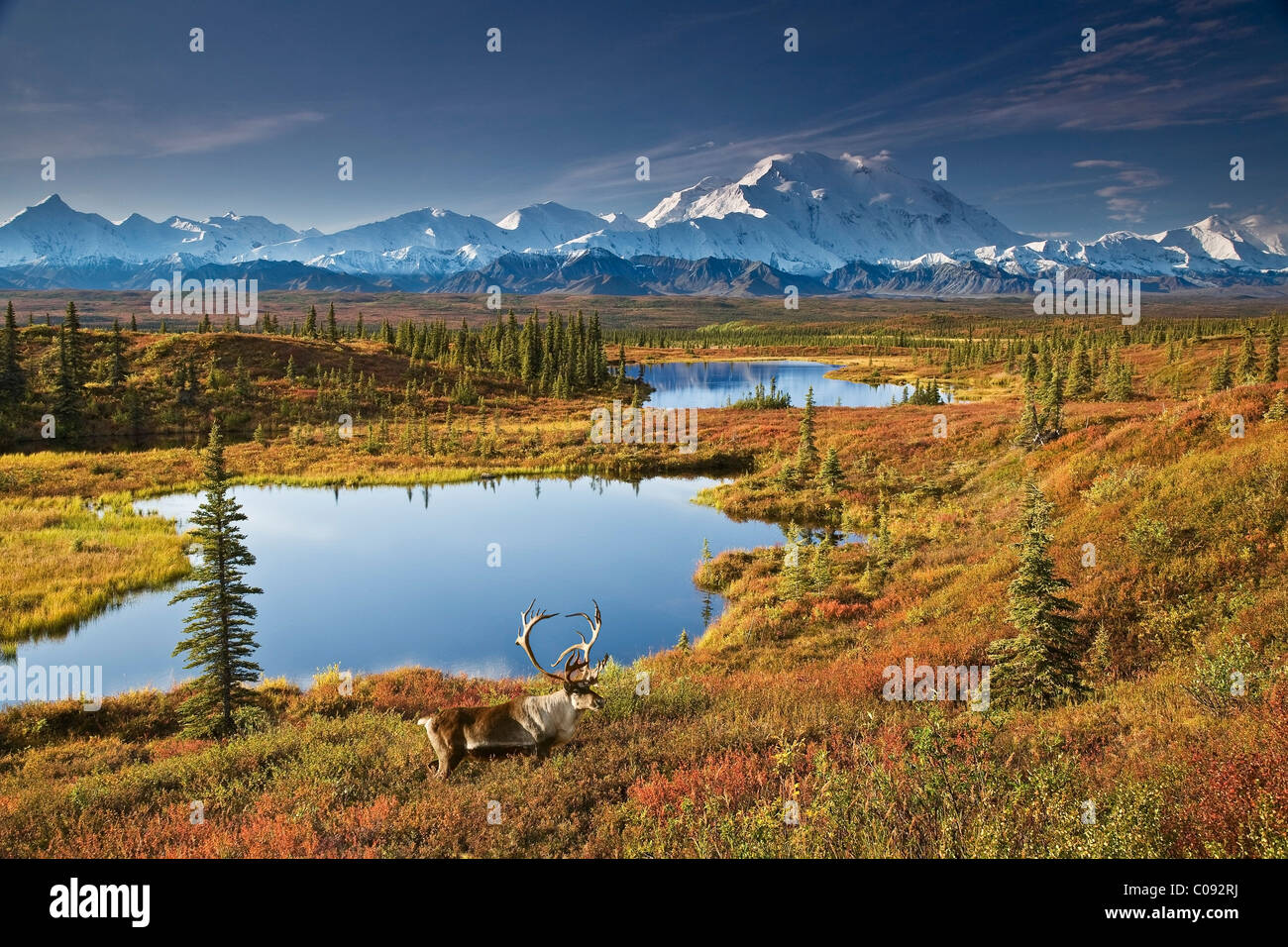 Bull caribou and tundra pond with Mt. McKinley in the background, Denali National Park, Alaska COMPOSITE - Stock Image