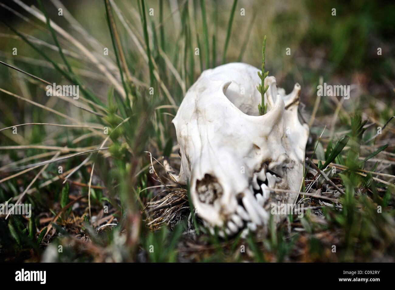 Close up of a wolf skull along Katak Creek, Brooks Range, ANWR, Arctic Alaska, Summer - Stock Image
