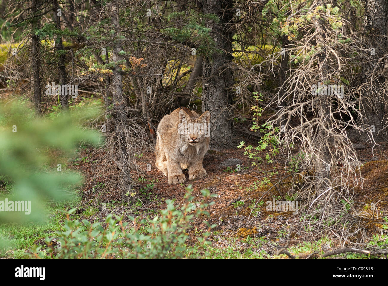 An adult Lynx crouches at base of spruce tree near Teklanika Campground in Denali National Park and Preserve, Interior - Stock Image