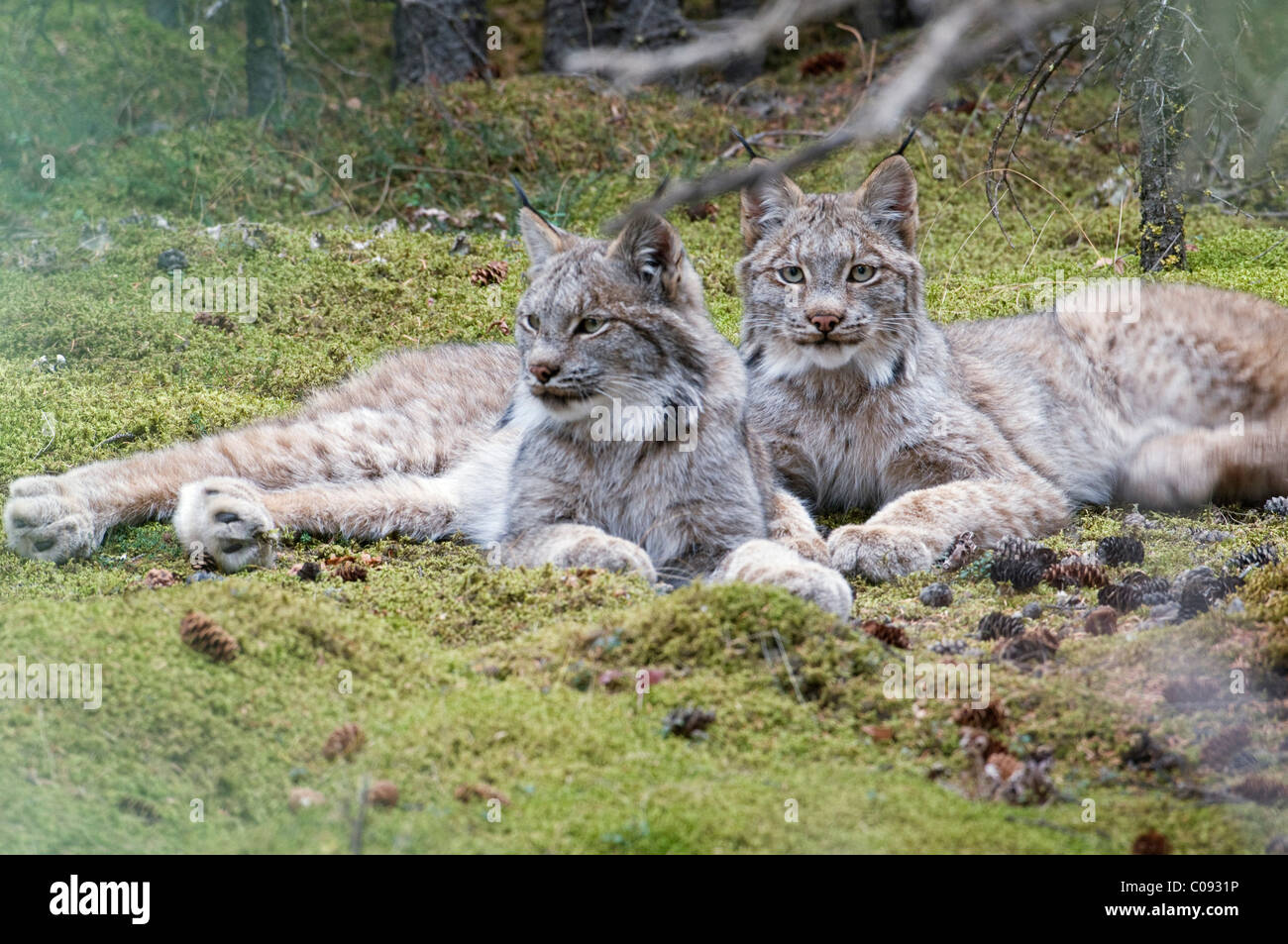 Pair of Lynx rest in mossy opening in dense spruce forest near Igloo Creek in Denali National Park and Preserve, - Stock Image