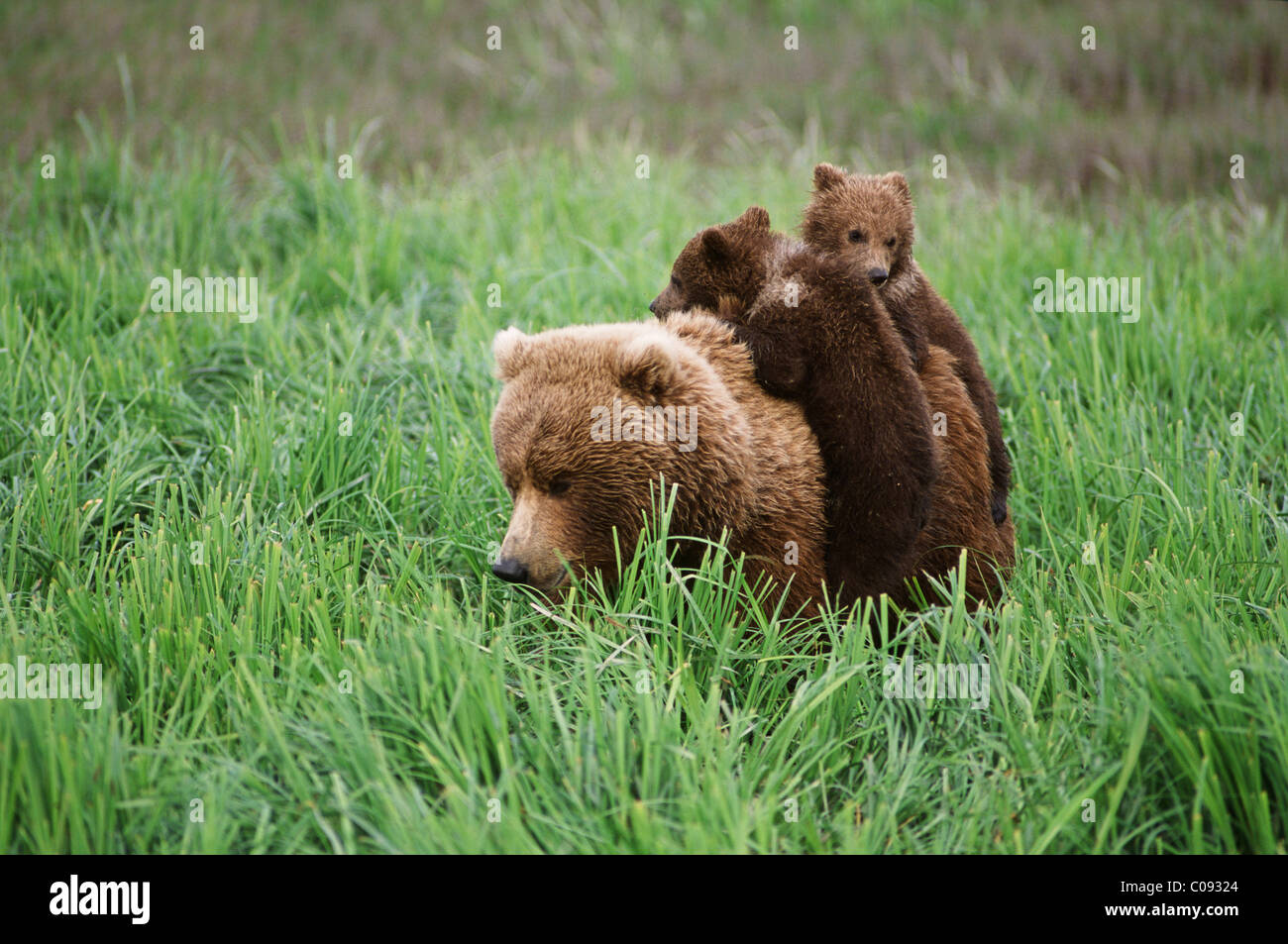 Two brown bear cubs ride on their mother's back through sedge grasses near McNeil River in McNeil River State - Stock Image