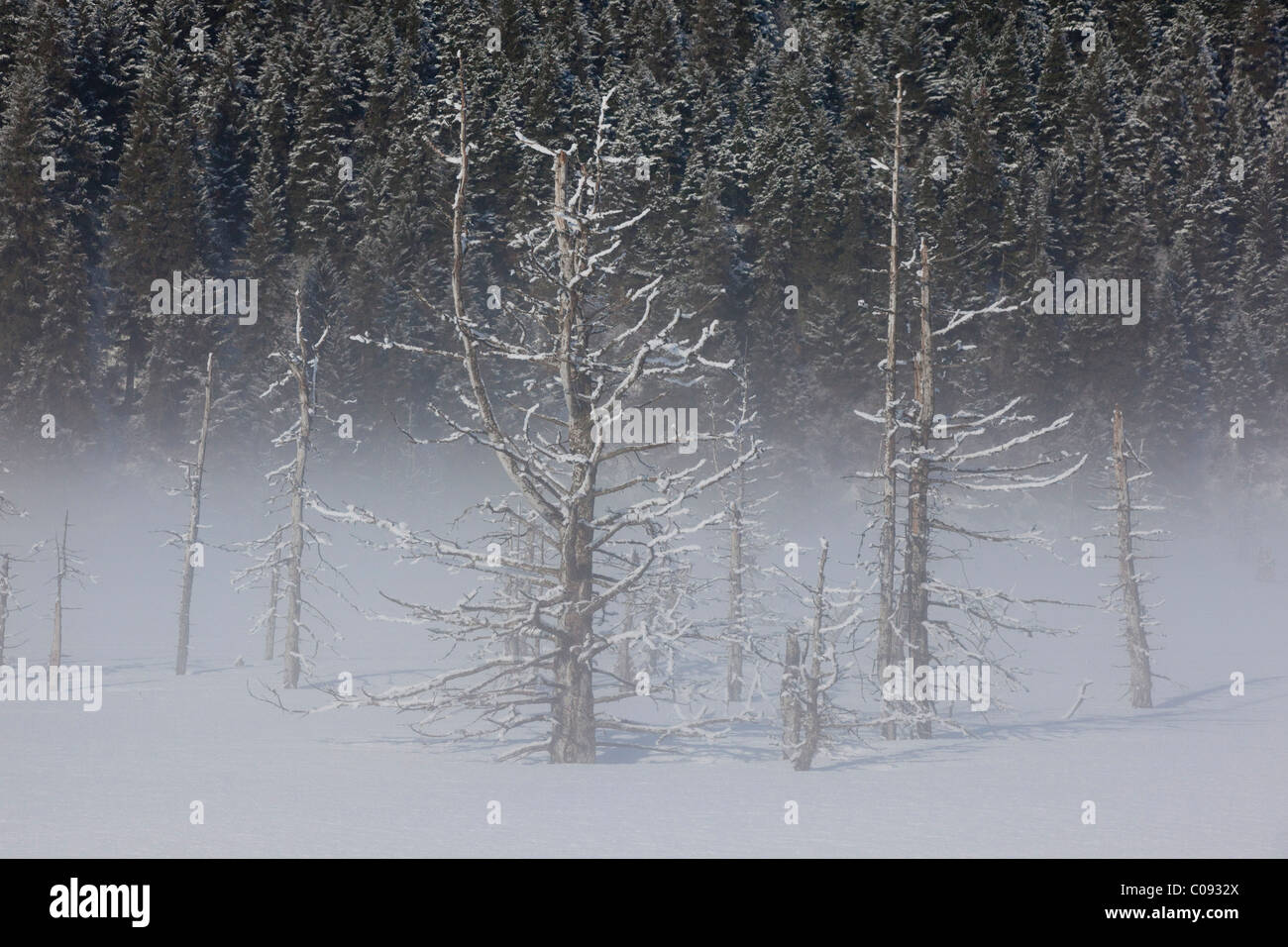 View of hoarfrosted saltwater-killed trees on a foggy morning along the Seward Highway near Portage, Southcentral Stock Photo