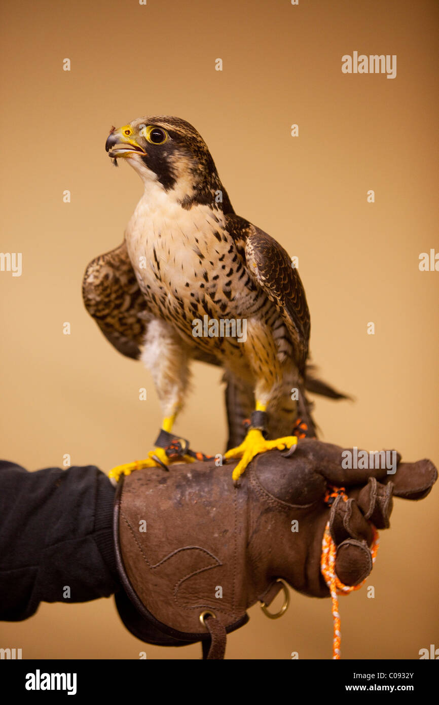 Indoor portrait of a Peregrine Falcon perched on its handlers gloved hand   at Bird TLC in Anchorage, CAPTIVE - Stock Image