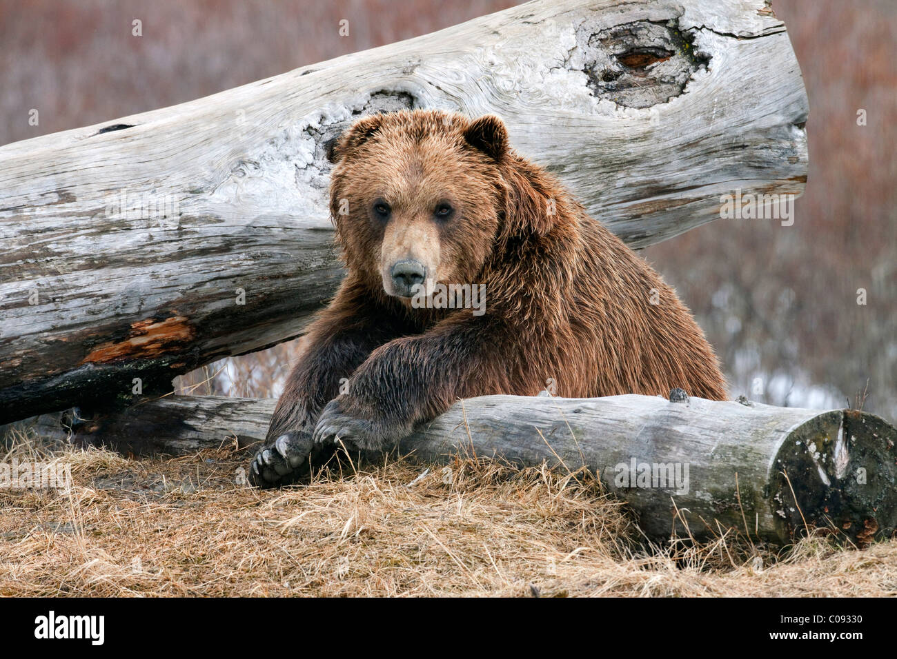 An adult Brown bear rests on a log at the Alaska Wildlife Conservation Center near Portage, Southcentral Alaska, - Stock Image