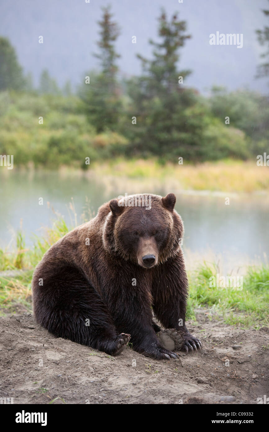 An adult Grizzly bear sits down and rests at the Alaska Wildlife Conservation Center near Portage, Southcentral - Stock Image