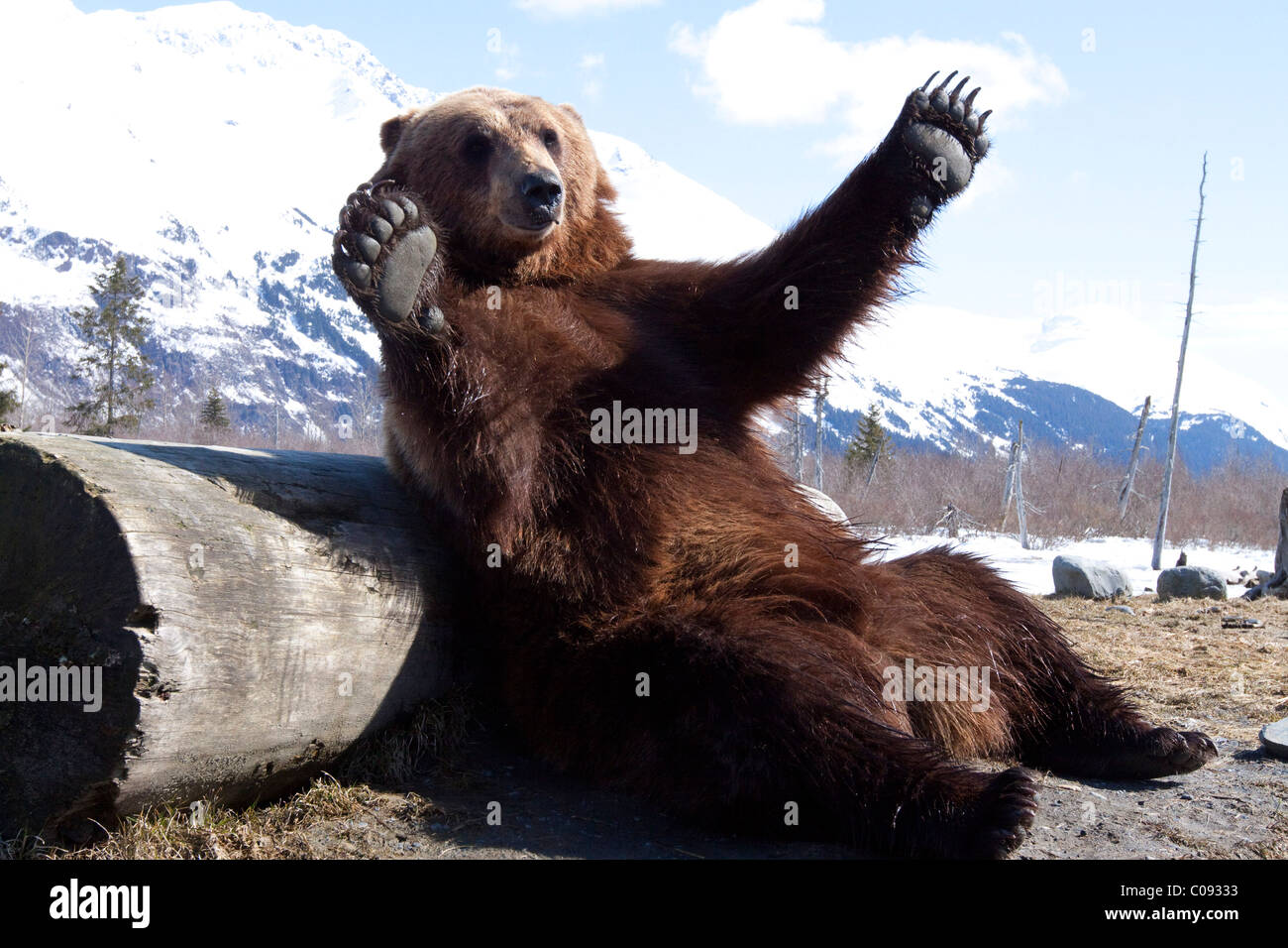 An adult Brown bear leans playfully against a log at the Alaska Wildlife Conservation Center near Portage, CAPTIVE - Stock Image