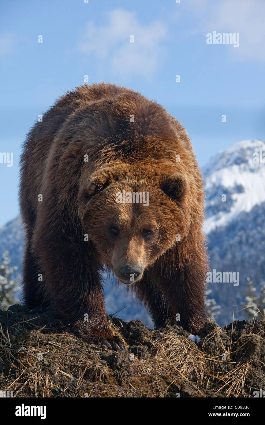 An adult menacing Brown bear the Alaska Wildlife Conservation Center near Portage, Southcentral Alaska, Spring, - Stock Image