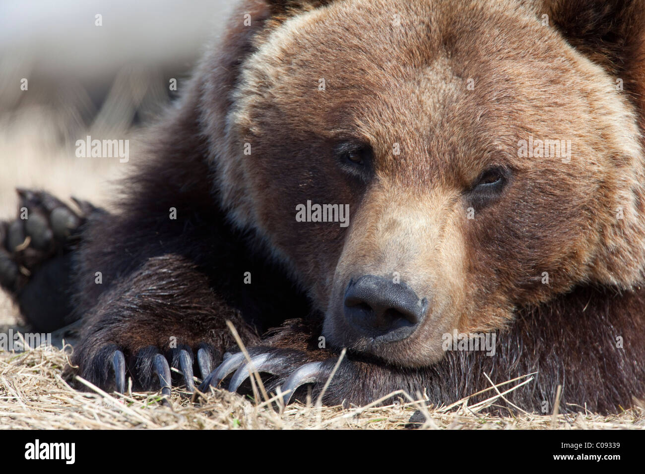 Close up portait of a sleepy adult Brown bear at the Alaska Wildlife Conservation Center near Portage, CAPTIVE - Stock Image