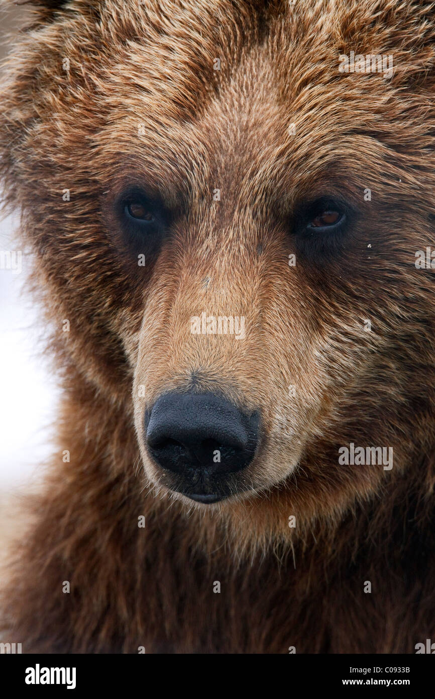 Close up portait of an adult Brown bear at the Alaska Wildlife Conservation Center near Portage, Southcentral Alaska, - Stock Image