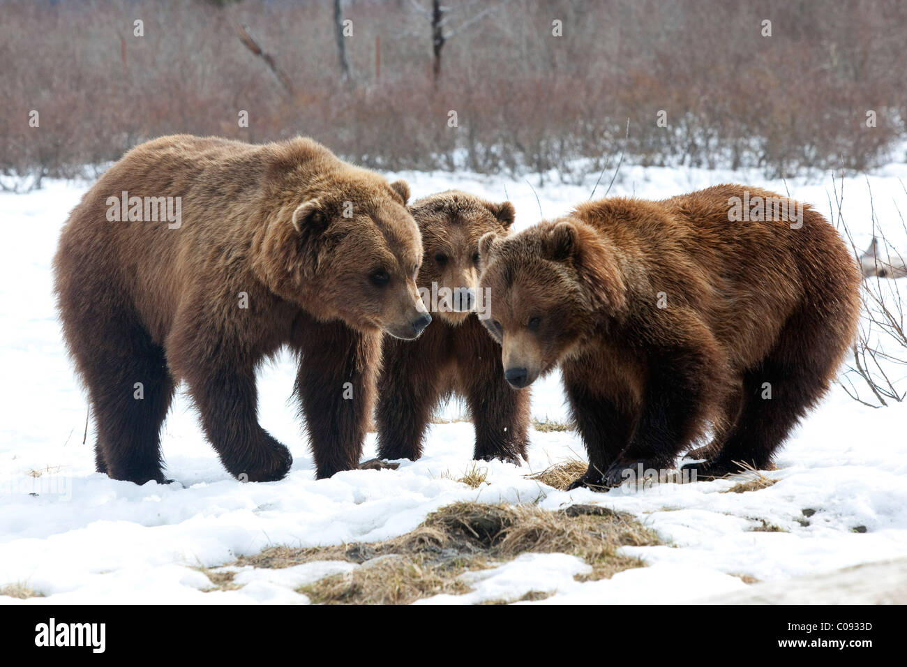 Two Brown bears(lt) & one Grizzly bear(rt) stand face to face at the Alaska Wildlife Conservation Center near - Stock Image
