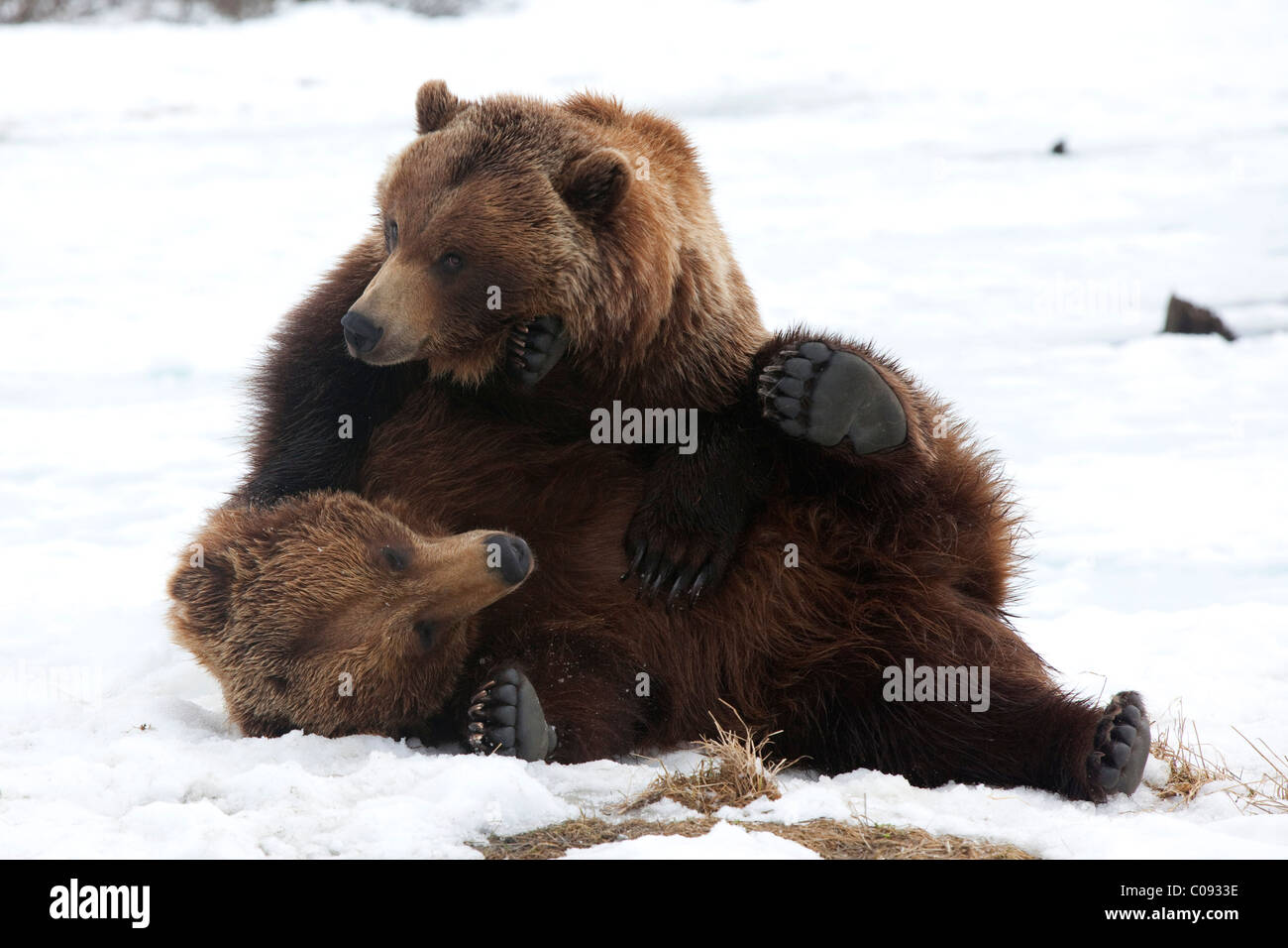A pair of adult Brown bears wrestle playfully in snow at the Alaska Wildlife Conservation Center near Portage, CAPTIVE - Stock Image