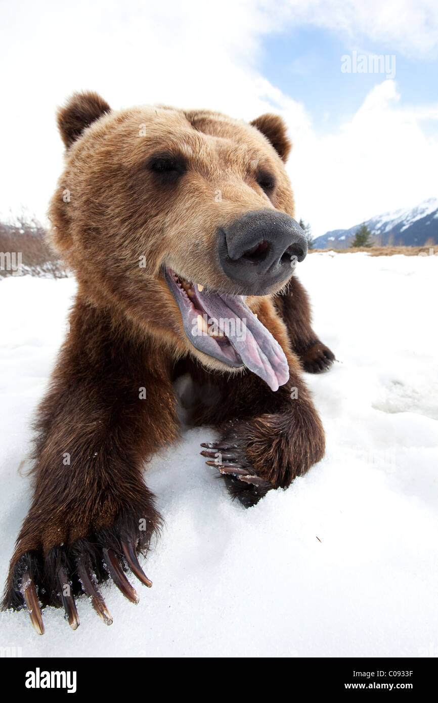 Humorous wide-angle close up of an open-mouthed adult Brown bear, Alaska Wildlife Conservation Center near Portage, - Stock Image